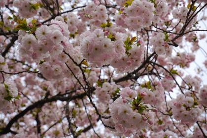 上野の花5.jpg