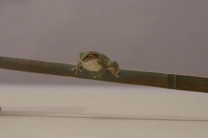 柄杓蛙2.jpg